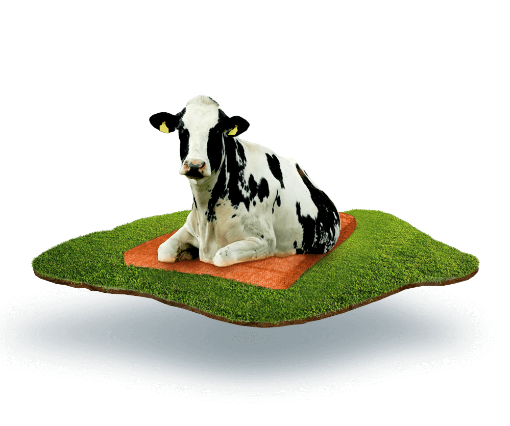 Cow laying on the Dutch Mountain mattress